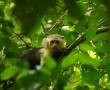 Affe, Costa Rica