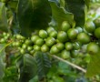 Kaffee in Panama