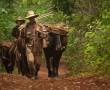 Kubanischen Bauern mit Ochsen