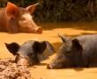 Schweinebucht