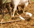 Feldbestellung mit Ochsengespann