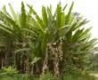 Pflanze zur Herstellung von Textilgarn